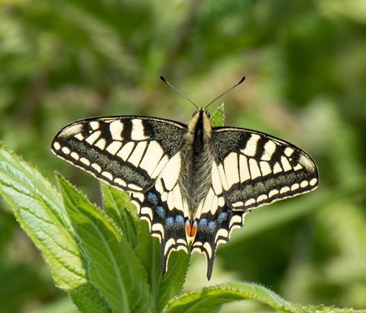 Swallowtail (Papilio macbaon)