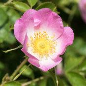 Sweet Briar (Rosa rubiginosa)
