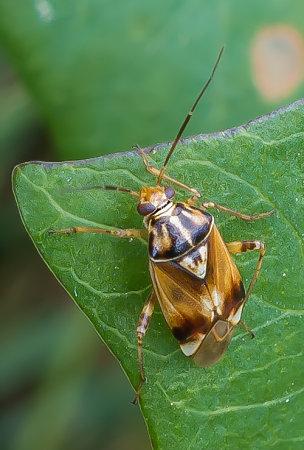 Tarnished-Plant-Bug-(Lygus-rugulipennis)