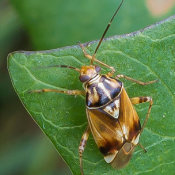 Tarnished Plant Bug (Lygus rugulipennis) male