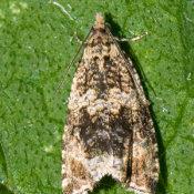 The Twenty Plume Moth (Alucita Hexadactyla)
