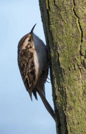 Tree Creeper (Certhia familliaris)