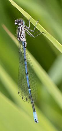 Variable Damselfly (Coenagrion pulchellum) female