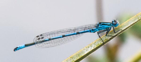 Azure Damselfly (Coenagrion puella) male
