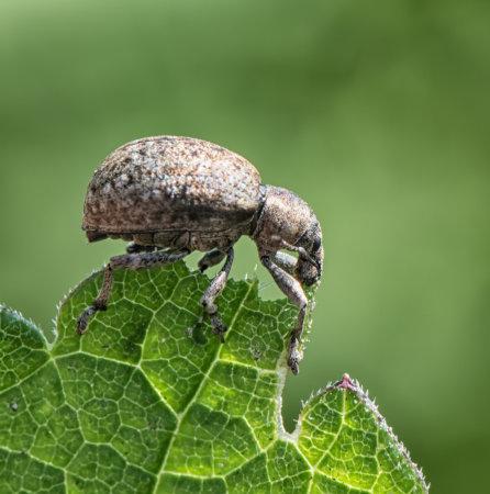 Vine-Weevil-(Otiorhynchus-sulcatus)