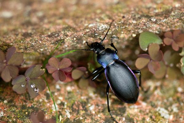 Violet-Ground-Beetle (Carabus violaceus)