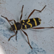 Wasp Beetle (Stranglia maculata)
