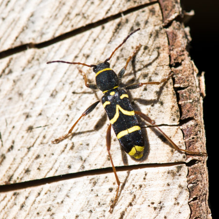 Wasp-beetle-(Clytus-arietis)