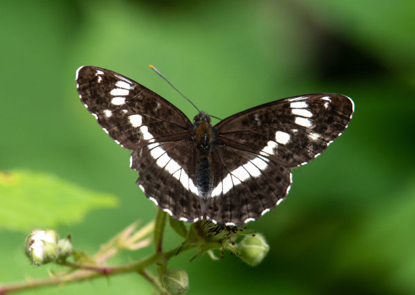 Whit Admiral (Limenitis camilla)