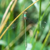 Willow Emerald Damselfly (Chacolestes viridis)