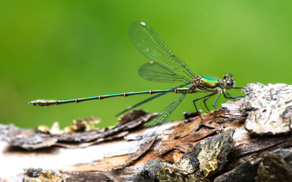 Willow Emerald (Chalcolestes viridis)