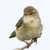 Willow-Warbler-(Phylloscopus-trochilus)