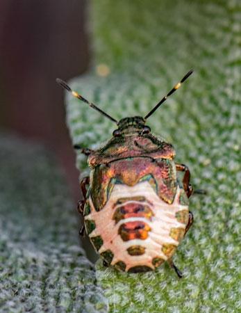 Woundwart-Sheildbug-(Eysarcoris-venustrissimus)-4th-instar-nymph