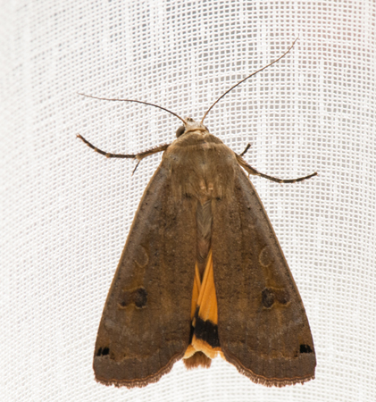 Yellow Underwing (Noctua orbona)