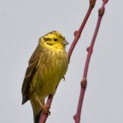 Yellow hammer (Emberiza citrinella)