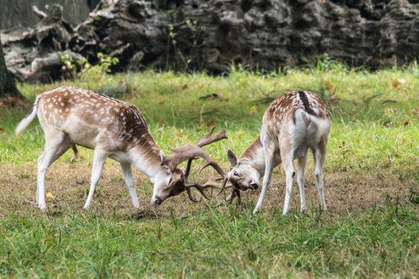 Young Fallow deer fighting