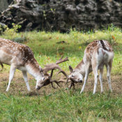 Young Fallow deer fighting