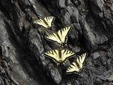 Swallowtail Butterflies on Salt Lick