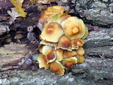 Sulphur Tuft Fungi