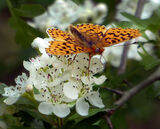 Pear-Bordered Fritillary Butterfly 2