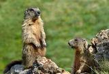 Alpine Marmot 1