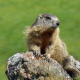 Alpine Marmot 2
