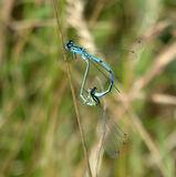 Blue Damselflies