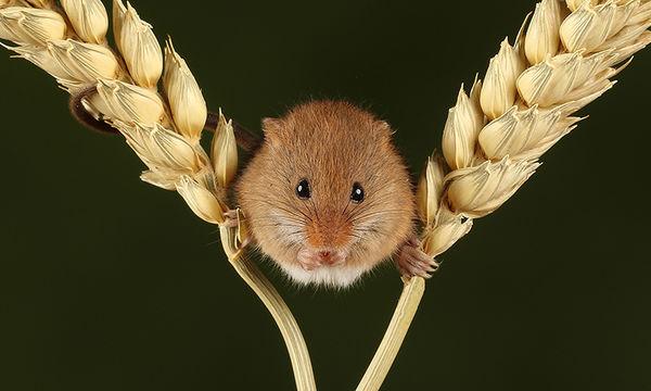 101 Harvest Mouse