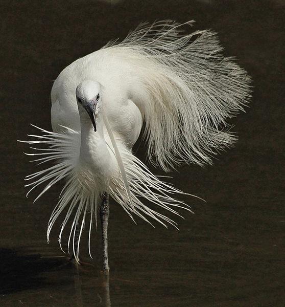 101 Little Egret