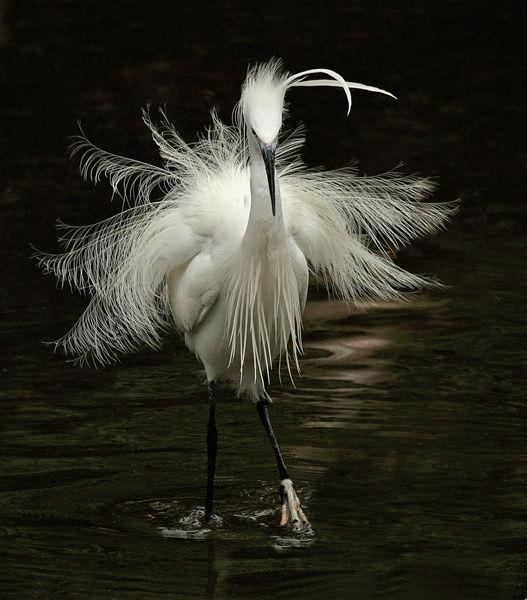 102 Little Egret
