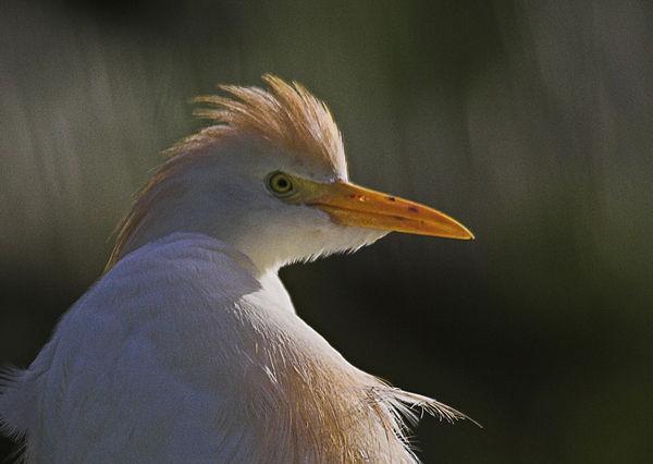 103 Cattle Egret