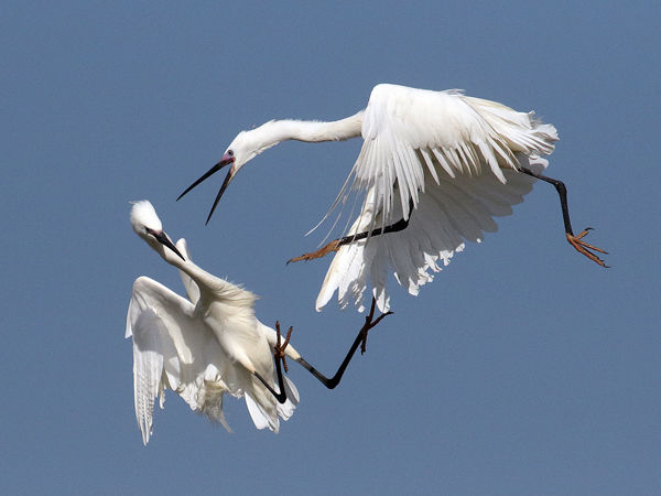 104 Little Egret spat