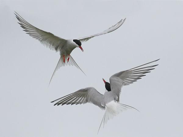 105 Arctic Tern