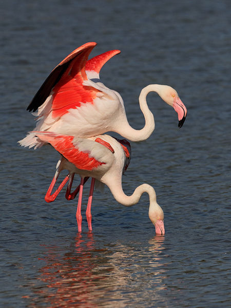 108 European Flamingo pair