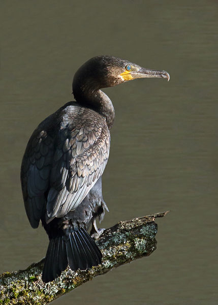 109 Cormorant