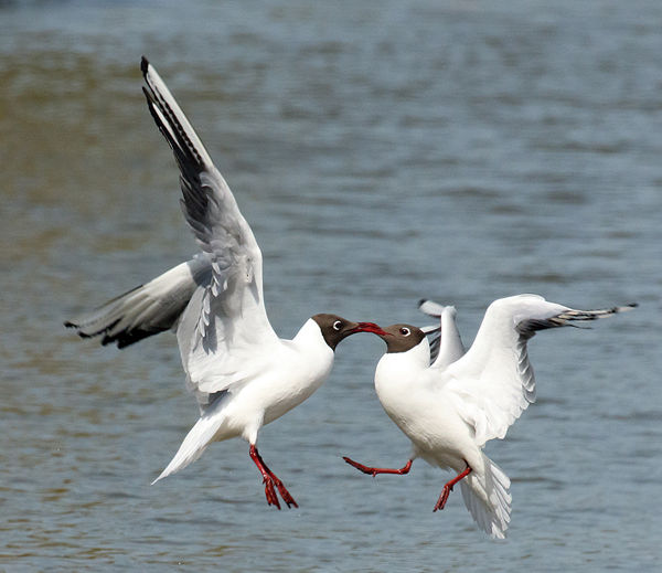 111 Black Headed Gulls