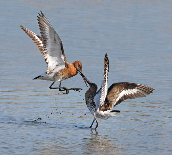 112 Black tailed Godwits