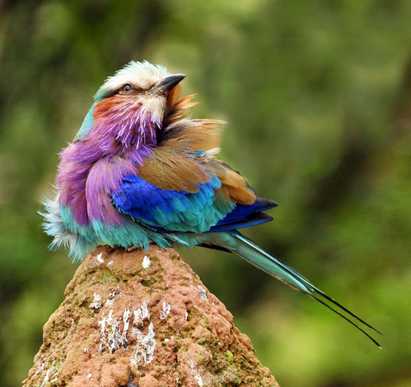 115 Lilac Breasted Roller