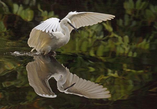 120 Little Egret