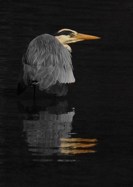 123 Grey Heron
