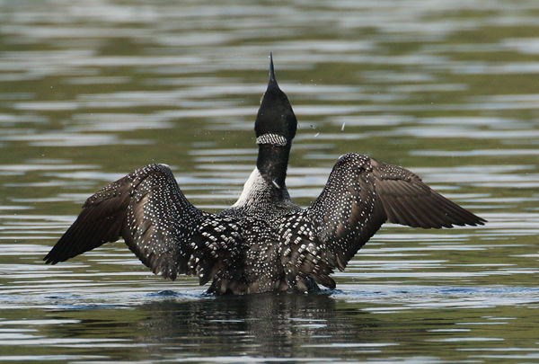 124 Great Northern Diver