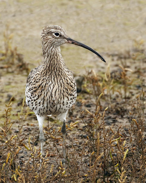 138 Curlew