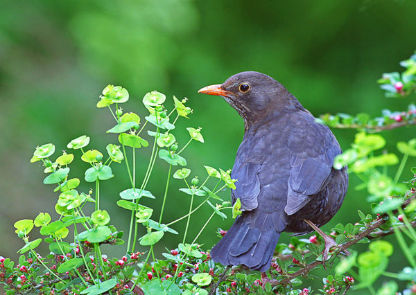 141 Blackbird