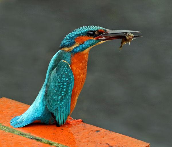 160 Kingfisher