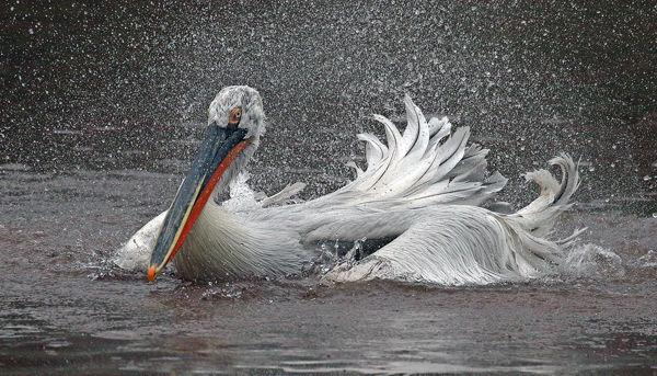 163 Dalmation Pelican