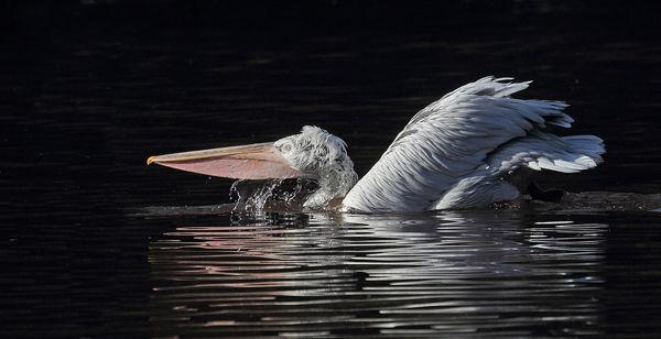 165 Dalmation Pelican