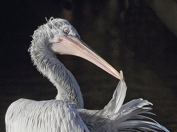 166 Dalmation Pelican