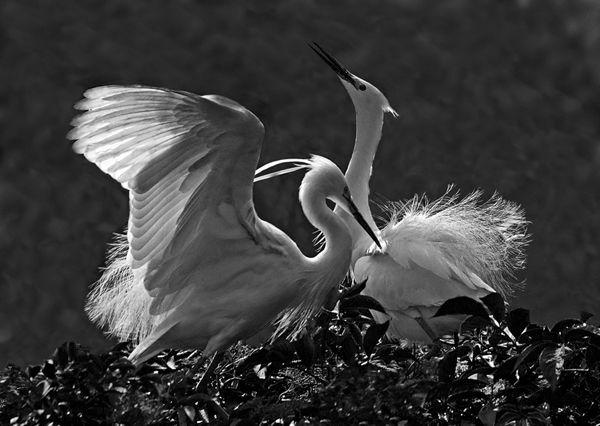 185 Little Egret pair