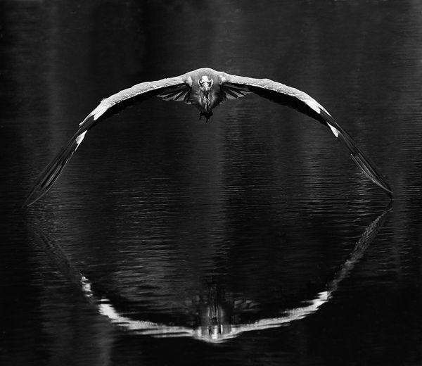 B103 Grey Heron
