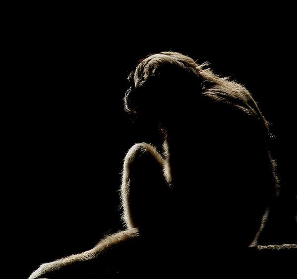 B104 Howler Monkey